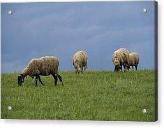 Sheep Acrylic Print by Pan Orsatti