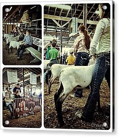 Sheep Show Acrylic Print