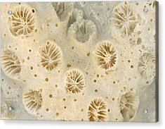 Shell - Conchology - Coral Acrylic Print by Mike Savad