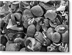 Shells V Acrylic Print by David Rucker