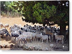 Sheltering Flock Acrylic Print by Paul Cowan