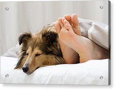 Sheltie Sleeping With Her Owner Acrylic Print