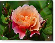 Sherbet Rose Acrylic Print