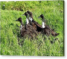 Shetland Ducks Acrylic Print by George Leask