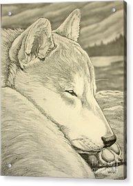 Shiba Inu Acrylic Print by Kim Hunter