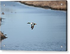 Sholver Flying2 Acrylic Print