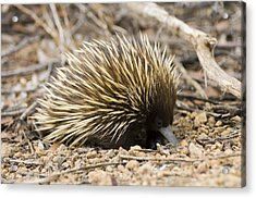 Short-beaked Echidna Acrylic Print by Matthew Oldfield