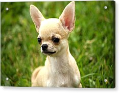 Short Coat Chihuahua Acrylic Print by Ernestas Papinigis