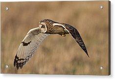Short-eared Owl In Flight Acrylic Print