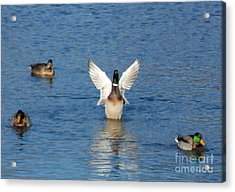 Acrylic Print featuring the photograph Showin Off by Mark McReynolds