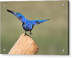 Showing Off Acrylic Print by Shane Bechler