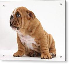 Shy Bulldog Pup Acrylic Print by Mark Taylor
