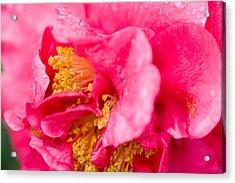Shy Camellia Acrylic Print by Rich Franco