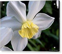 Shy Daffodil Acrylic Print