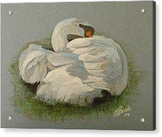 Shy Swan Acrylic Print