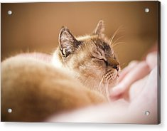 Siamese Cat Is Sleeping On Bed Acrylic Print by Lawren