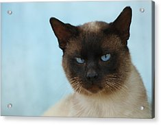 Siamese Cat Acrylic Print by Waldek Dabrowski