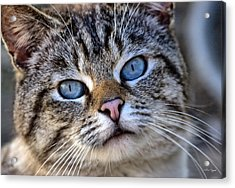 Acrylic Print featuring the photograph Siamese Feral Cat by Chriss Pagani