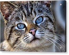 Siamese Feral Cat Acrylic Print by Chriss Pagani