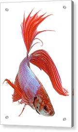 Siamese Fighting Fish (betta Splendens), Close-up Acrylic Print