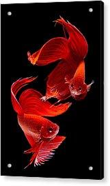 Siamese Fish Acrylic Print