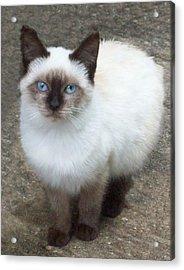 Siamese Kitten Acrylic Print by Lisa Williams