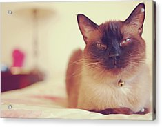 Siamese Acrylic Print by Trista Watson Photography