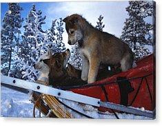 Siberian Husky Puppies Play On A Snow Acrylic Print by Nick Norman