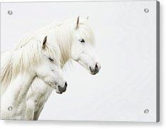 Side Face Of Two White Horse Acrylic Print by Gigja Einarsdottir