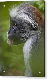 Side View Portrait Of A Red Colobus Acrylic Print by Michael Melford