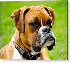 Sidney The Boxer Acrylic Print by Chris Thaxter