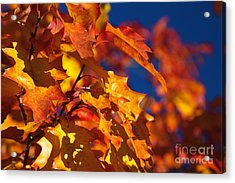 Sierra Autumn Leaves In Orange And Gold Acrylic Print by ELITE IMAGE photography By Chad McDermott