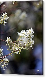 Signs Of Spring Acrylic Print by Deborah Hughes