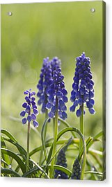Signs Of Spring Acrylic Print by Straublund Photography
