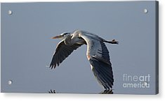 Silent Flight Acrylic Print