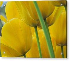 Silky Yellows Acrylic Print