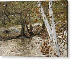 Silver Birch By Potomac Acrylic Print by Lisa Missenda
