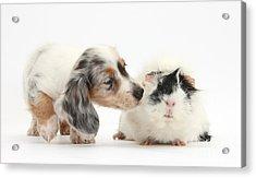 Silver Double Dapple Dachshund Pup Acrylic Print