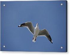 Silver Gull In Flight Acrylic Print by Jason Edwards
