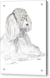 Acrylic Print featuring the drawing Silver Poodle by Maria Urso