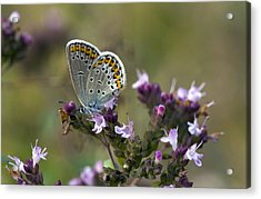Silver-studded Blue On Marjoram Acrylic Print by Bob Gibbons
