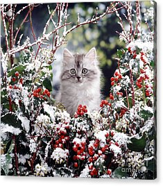 Silver Tabby Kitten Acrylic Print by Jane Burton