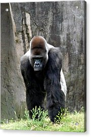 Acrylic Print featuring the photograph Silverback by Jo Sheehan