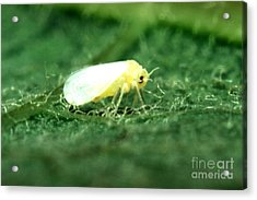 Silverleaf Whitefly Acrylic Print by Science Source