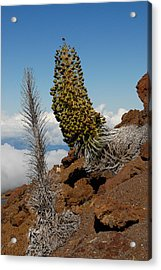 Silversword On Haleakala Acrylic Print by Scott Massey