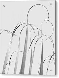Silvery Soaring Slivers Of Grass Acrylic Print