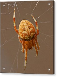 Simba The Spider Acrylic Print by Chet King