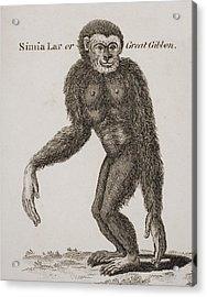 Simia Lar, Great Gibbon. Engraved By Acrylic Print by Ken Welsh