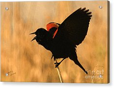 Singing At Sunset Acrylic Print by Betty LaRue