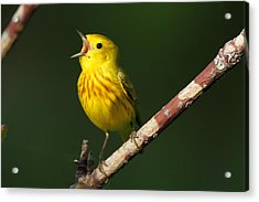 Singing Yellow Warbler Acrylic Print by Doug Lloyd